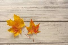 Δύο ζωηρόχρωμα φύλλα σφενδάμου πέρα από το ξύλινο υπόβαθρο Στοκ φωτογραφία με δικαίωμα ελεύθερης χρήσης