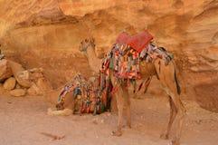 Δύο ζωηρόχρωμες καμήλες Στοκ Εικόνες