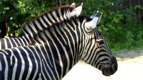 Δύο θαυμάσια ριγωτή Zebras στάση σε έναν ζωολογικό κήπο το καλοκαίρι σε σε αργή κίνηση φιλμ μικρού μήκους