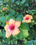 Δύο θερινά hibiscus λουλούδια στοκ εικόνες με δικαίωμα ελεύθερης χρήσης