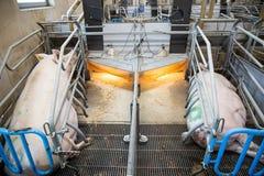 Δύο θηλυκοί χοίροι είναι στο αγρόκτημα στοκ φωτογραφίες με δικαίωμα ελεύθερης χρήσης