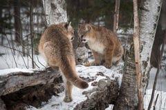 Δύο θηλυκό Cougars Puma concolor στο κούτσουρο στοκ εικόνα με δικαίωμα ελεύθερης χρήσης