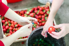Δύο θηλυκά χέρια που καθαρίζουν επάνω τις φράουλες από τα φύλλα Στοκ Φωτογραφία
