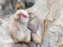 Δύο ιαπωνικά macaques Στοκ Εικόνα