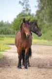 Δύο διευθυνμένο καφετί και μαύρο άλογο Στοκ Εικόνα