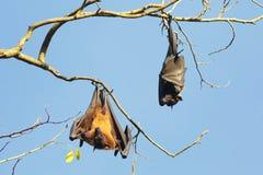 Δύο ινδικά πετώντας ρόπαλα αλεπούδων, Pteropus, ένωση giganteus στο branc Στοκ Εικόνες