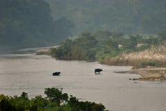 Δύο ινδικό Bisonsare που διασχίζουν τον ποταμό Στοκ Εικόνες