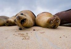 Δύο λιοντάρια θάλασσας που βρίσκονται στην άμμο galapagos νησιά ωκεάνιος ειρηνικός Ισημερινός στοκ εικόνες