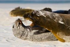 Δύο λιοντάρια θάλασσας που παίζουν το ένα με το άλλο galapagos νησιά ωκεάνιος ειρηνικός Ισημερινός στοκ εικόνα