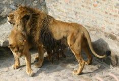 Δύο λιοντάρια Στοκ φωτογραφίες με δικαίωμα ελεύθερης χρήσης