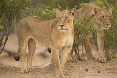 Δύο λιονταρίνες (Leo Panthera) στοκ εικόνα με δικαίωμα ελεύθερης χρήσης