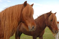 Δύο ισλανδικά άλογα Στοκ Εικόνες
