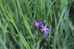Δύο ιώδη λουλούδια αυξάνονται ενάντια στοκ εικόνα με δικαίωμα ελεύθερης χρήσης