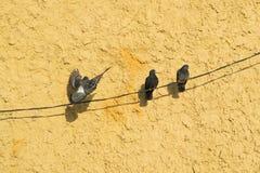 Δύο κάθισαν το περιστέρι σε τους μύγες πιό μόνο στο υπόβαθρο του πορτοκαλιού τοίχου Στοκ Εικόνα