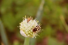 Δύο κάνθαροι σε ένα λουλούδι κρεμμυδιών στοκ εικόνα με δικαίωμα ελεύθερης χρήσης