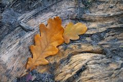 Δύο κίτρινα δρύινα φύλλα βρίσκονται στο φλοιό ενός δέντρου στοκ εικόνες