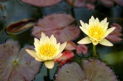 Δύο κίτρινα λουλούδια κρίνων νερού στην άνθιση με τα μαξιλάρια Στοκ Φωτογραφία