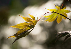 Δύο κίτρινα φύλλα φθινοπώρου Στοκ φωτογραφία με δικαίωμα ελεύθερης χρήσης
