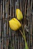 Δύο κίτρινες τουλίπες Στοκ εικόνες με δικαίωμα ελεύθερης χρήσης