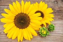 Δύο κίτρινοι ηλίανθοι Στοκ Εικόνες