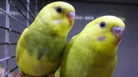 Δύο κίτρινοι κυματιστοί παπαγάλοι εξετάζουν σας φιλμ μικρού μήκους