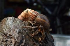 2 δύο καβούρια ερημιτών βρήκαν το σπίτι τρόπων τους στο μαύρο ιαπωνικό κοχύλι σαλιγκαριών Στοκ Φωτογραφία