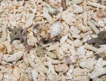 Δύο καβούρια ερημιτών Στοκ Εικόνες