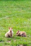 Δύο καθαρής φυλής κουνέλια που τρώνε τη χλόη στοκ φωτογραφία με δικαίωμα ελεύθερης χρήσης