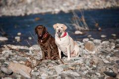 Δύο καθαρής φυλής labradors υπαίθρια και το πρώιμο ελατήριο και ο ποταμός στοκ φωτογραφία με δικαίωμα ελεύθερης χρήσης
