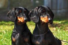 Δύο καθαρής φυλής σκυλιά, ένα γερμανικό ομαλός-μαλλιαρό κοίταγμα Dachshund στοκ φωτογραφία με δικαίωμα ελεύθερης χρήσης