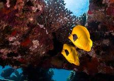 Δύο καλυμμένο butterflyfish semilarvatus Chaetodon στοκ φωτογραφία με δικαίωμα ελεύθερης χρήσης