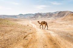 Δύο καμήλες που διασχίζουν την οδική βοσκή ερήμων, νεκρή θάλασσα, Ισραήλ Στοκ Εικόνες