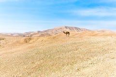 Δύο καμήλες που στέκονται την κορυφογραμμή βουνών ερήμων, Ισραήλ Στοκ Φωτογραφία