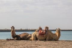 Δύο καμήλες που εξετάζουν τη κάμερα Στοκ φωτογραφία με δικαίωμα ελεύθερης χρήσης