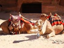 Δύο καμήλες σε Patra Στοκ Εικόνες
