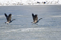 Δύο καναδόχηνες που απογειώνονται από την παγωμένη λίμνη στοκ εικόνα