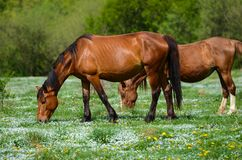 Δύο καφετιά άλογα στέκονται σε ένα πράσινο λιβάδι λουλουδιών ανάμεσα στα πράσινα δάση και κοιτάζουν στις αντίθετες κατευθύνσεις κ στοκ εικόνα με δικαίωμα ελεύθερης χρήσης
