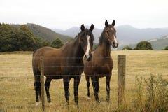 Δύο καφετιά άλογα Στοκ Εικόνες
