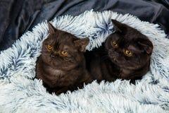 Δύο καφετιά γατάκια Στοκ εικόνες με δικαίωμα ελεύθερης χρήσης