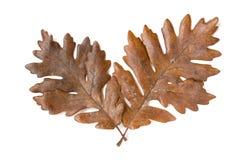 Δύο καφετιά δρύινα φύλλα φθινοπώρου που απομονώνονται στο άσπρο υπόβαθρο Στοκ Φωτογραφίες