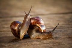 Δύο καφετιά σαλιγκάρια αγάπης παιχνιδιού σε μια ξύλινη μακροεντολή επιφάνειας Στοκ Εικόνες