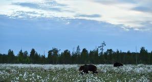Δύο καφετιές αρκούδες στον υγρότοπο Στοκ Εικόνες