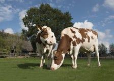 Δύο καφετιές και άσπρες αγελάδες που τρώνε τη χλόη που στέκεται έξω σε ένα sunn Στοκ Εικόνες