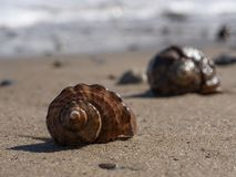 Δύο κενά κοχύλια rapana σε μια αμμώδη παραλία στοκ φωτογραφία με δικαίωμα ελεύθερης χρήσης