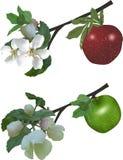 Δύο κλάδοι δέντρων μηλιάς στο λευκό Στοκ Φωτογραφίες