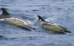 Δύο κοινά doplhins που πηδούν και που καταβρέχουν στις άγρια περιοχές Στοκ Φωτογραφία