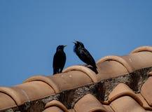 Δύο κοράκια σε μια στέγη Στοκ εικόνες με δικαίωμα ελεύθερης χρήσης