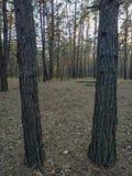 Δύο κορμοί δέντρων ως πλαίσιο στοκ φωτογραφία με δικαίωμα ελεύθερης χρήσης