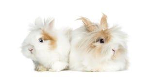 Δύο κουνέλια που βρίσκονται δίπλα-δίπλα, που απομονώνονται στοκ εικόνες με δικαίωμα ελεύθερης χρήσης