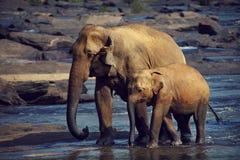 Δύο κουρασμένος ελέφαντας Στοκ εικόνα με δικαίωμα ελεύθερης χρήσης